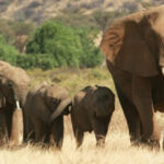 معلومات وحقائق عن الفيل الأفريقي