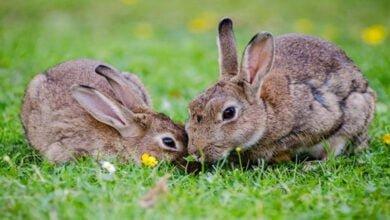 صورة تربية الأرانب