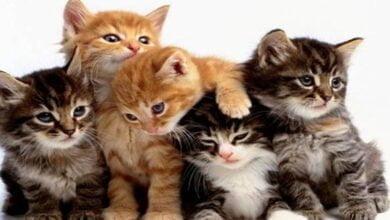 صورة تربية القطط هذا الحيوان الأليف