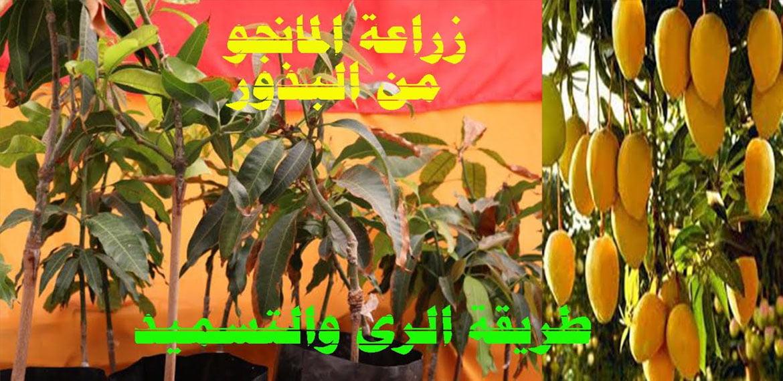 زراعة فاكهة المانجو في المنزل Cultivation of Mango