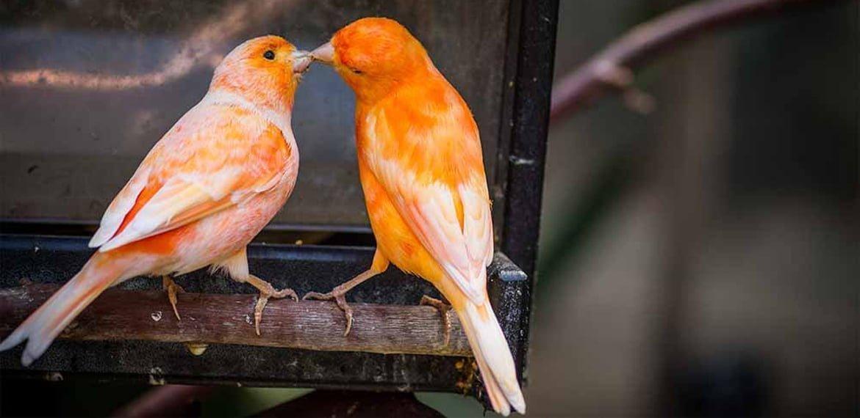 صورة طريقة تلبيس الحجول لطيور الكناري