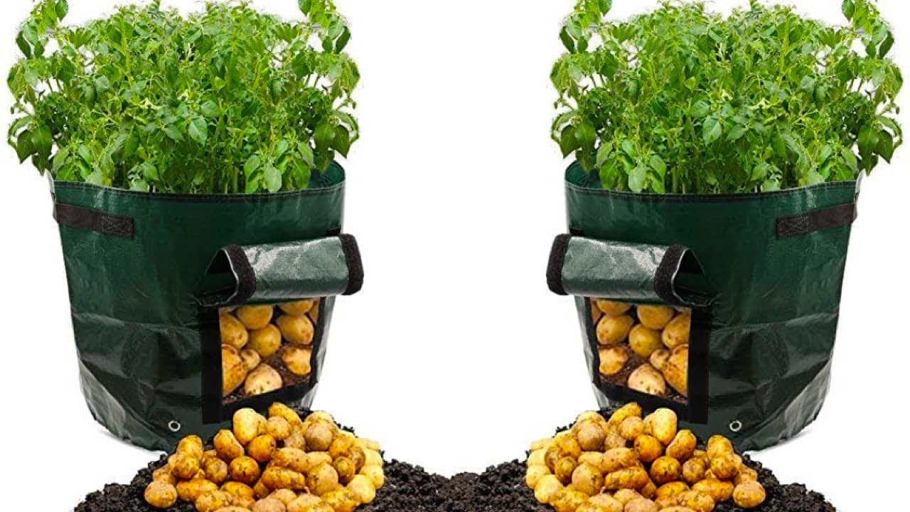 كيف تزرع البطاطس ؟