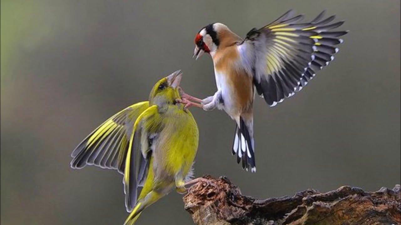 صورة كيف تشتري طائر الحسون المغرد وتعتني به
