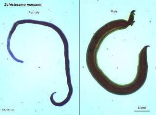 إرفاق صورة Schistosoma Japonicum ( egg) و ( adult)