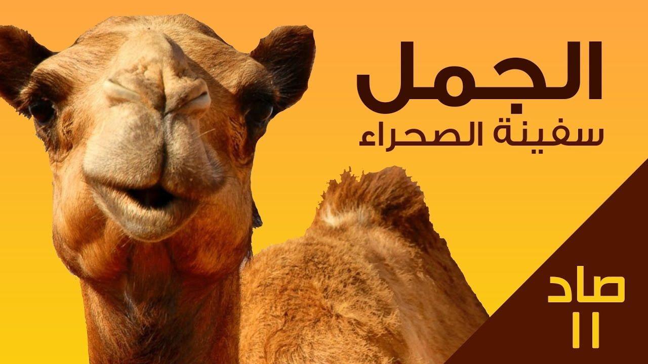 صورة الجمل وكيف يستطيع العيش في الصحراء