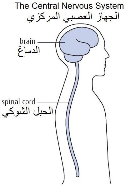 الجهاز العصبي وأقسامه