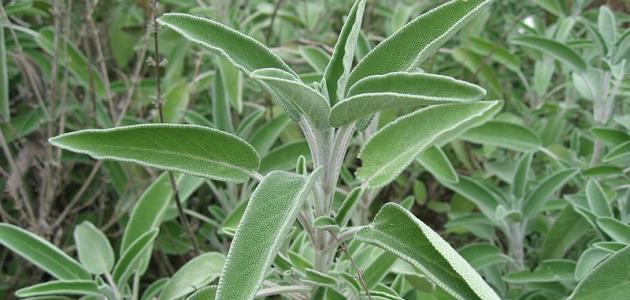 خصائص نبتة الميرمية