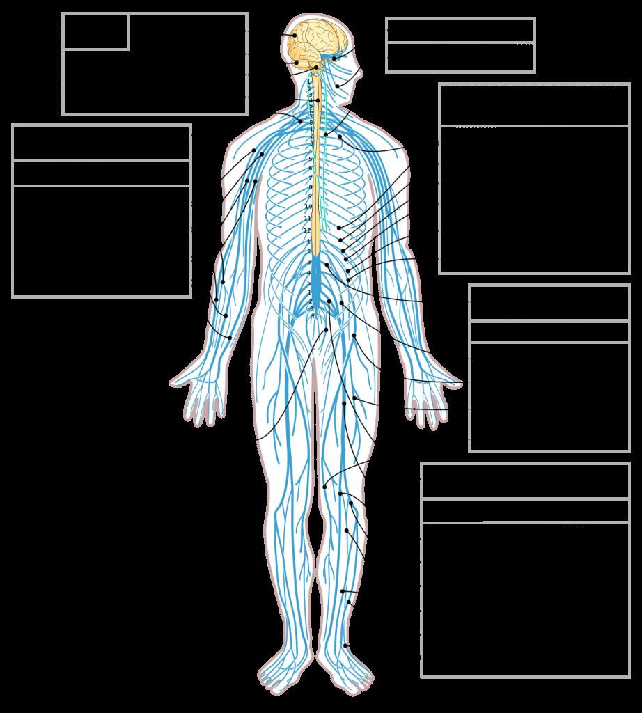 ما هو الجهاز العصبي المركزي