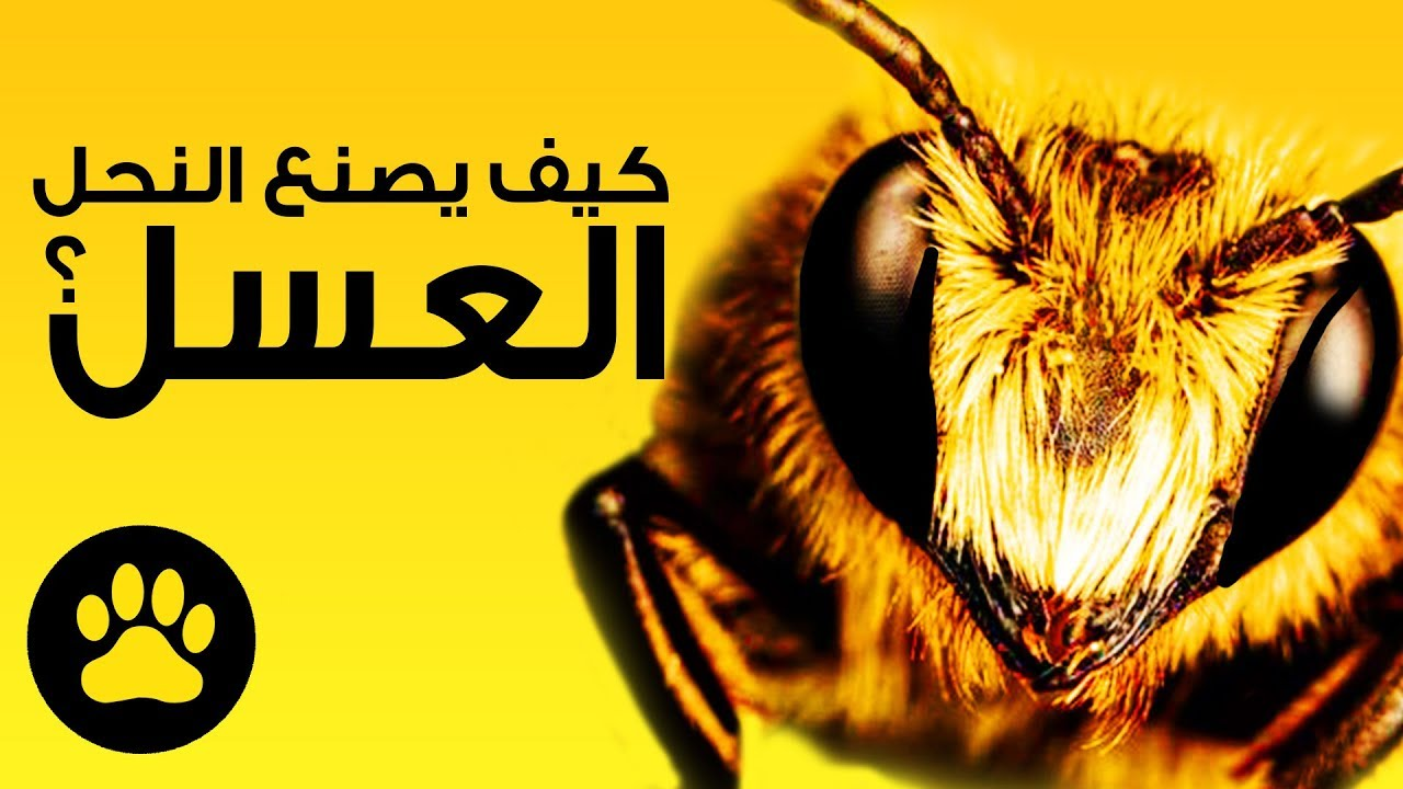 صورة نحل العسل وكيف يصنع العسل