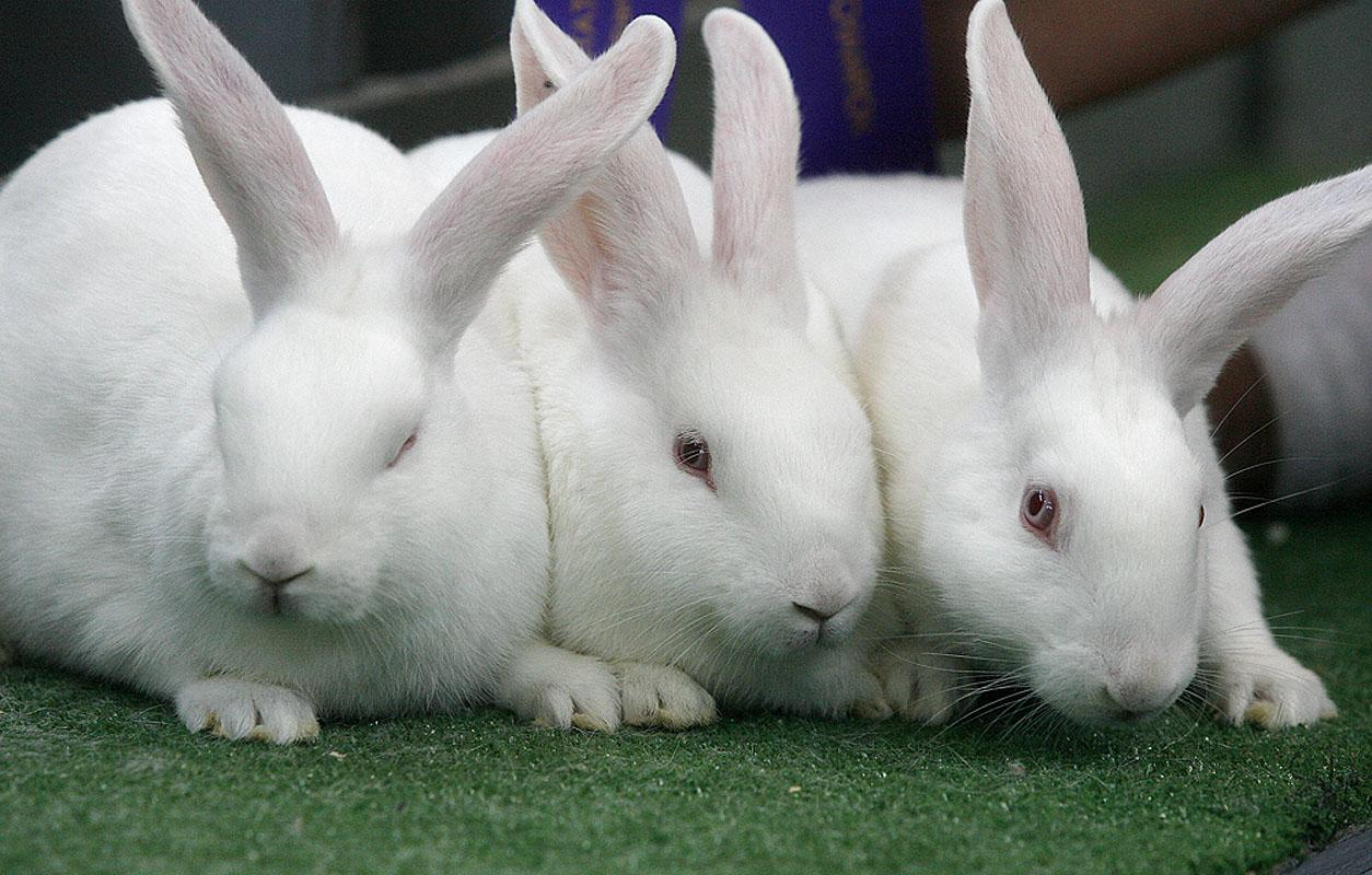 صورة تعرف على كل سلالات الأرانب