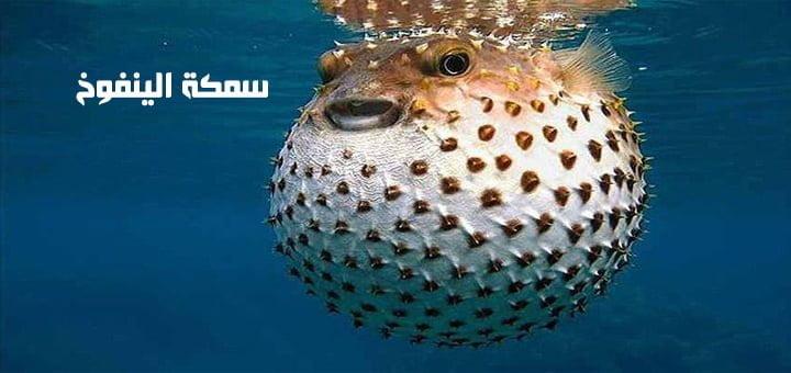 سمكة الينفوخ