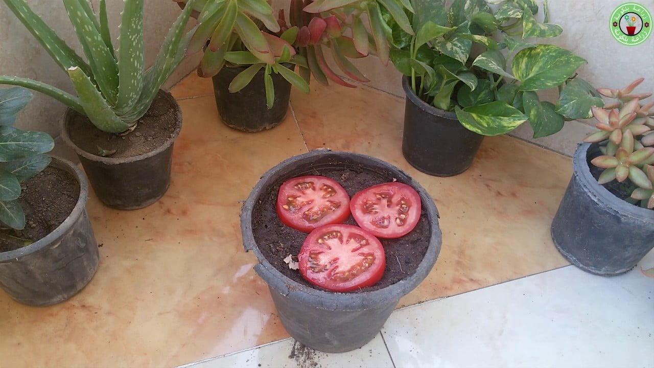 صورة زراعة الطماطم بالمنزل بأسهل الطرق