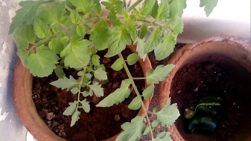زراعة الطماطم والخطوات