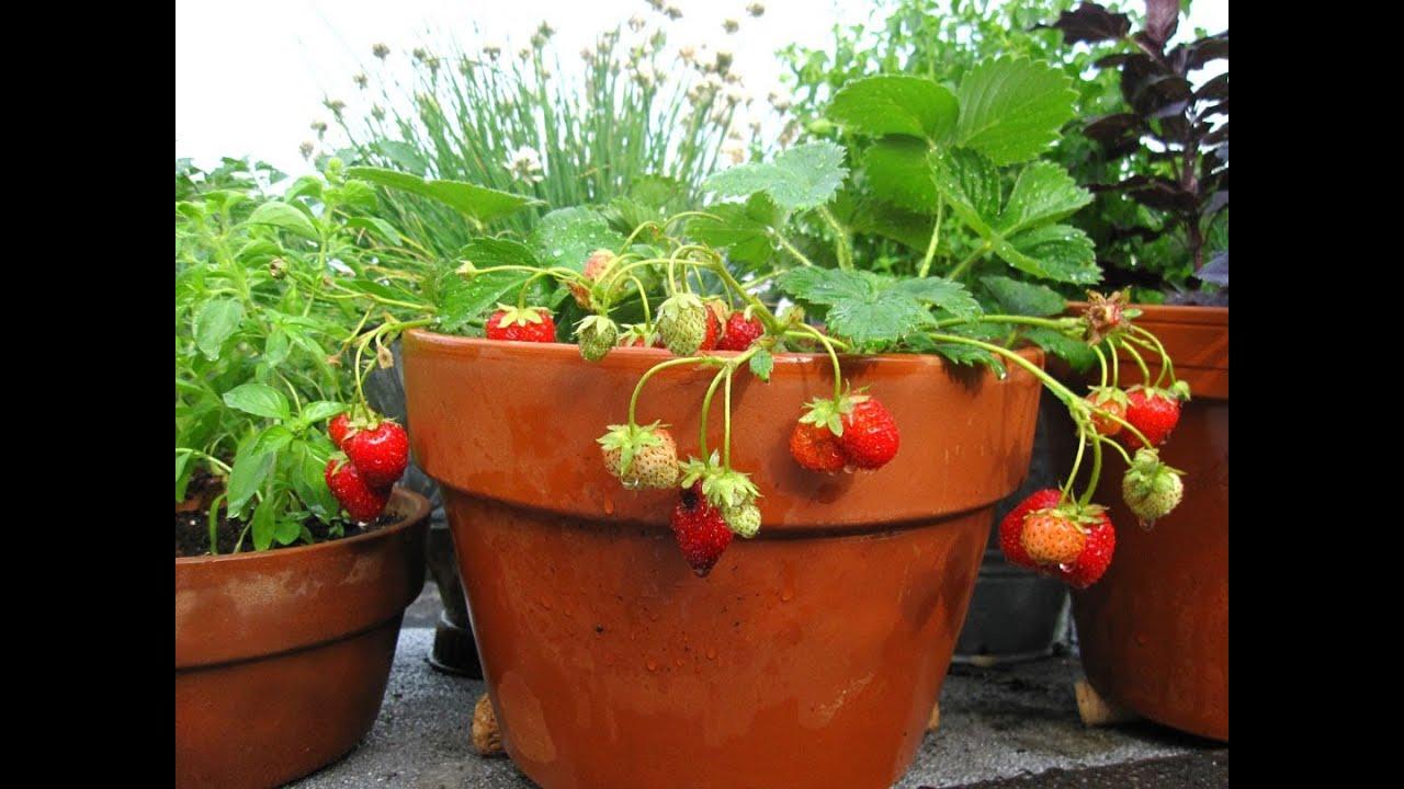 صورة زراعة الفراولة بأفضل الطرق في المنزل