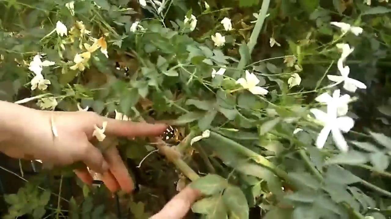 صورة زراعة الياسمين الشامي في المنزل