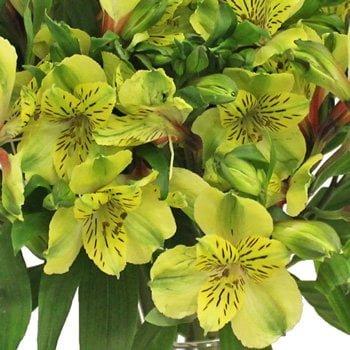 زهرة ألستروميريا