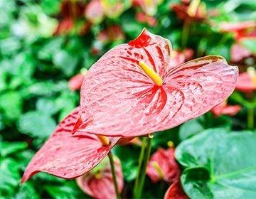 زهرة أنثوريوم