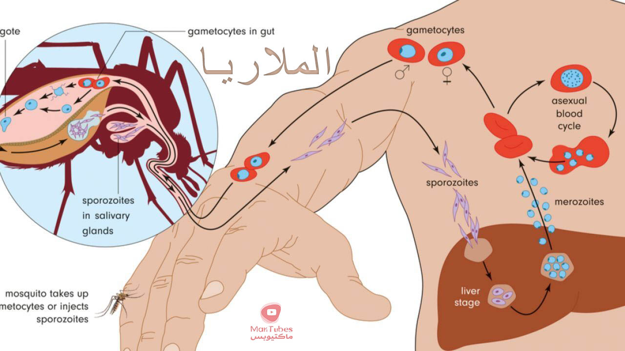 ما هي الملاريا Malaria   انواعها   اعراضها   طرق انتشارها